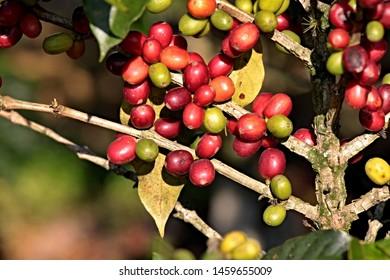 Closeup of coffee arabica fruits in coffee farm and plantation near Coban city. Guatemala.