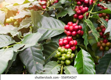 Closeup of coffee beans  fruit on tree in farm and plantations