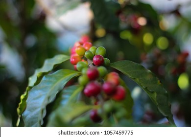 Close-Up of Coffee Beans growing on the Coffee Plant