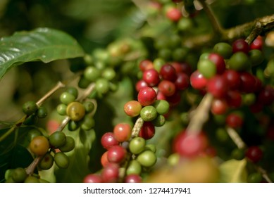 Closeup to Coffee fruit in coffee farm and plantations in Jinotega, Nicaragua.