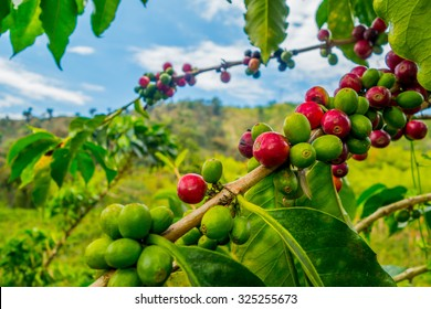 Closeup of coffee fruit in coffee farm and plantations in Manizales, Colombia