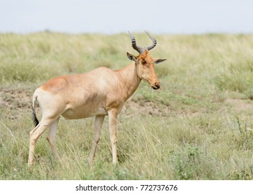 "Closeup of Coke's Hartebeest (scientific name: Connochaetes taurinus or ""Kongoni"" in Swaheli) in the Serengeti National park, Tanzania"