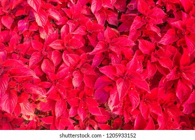close-up of a Coleus plant/close-up of the leaves of the Coleus plant of red color