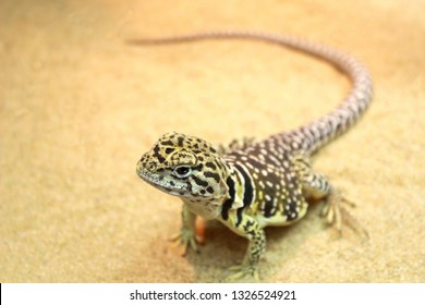 close-up of a collared lizard on sand