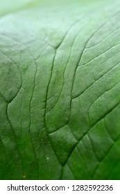 closeup of a colocasia leaf