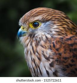 A close-up color portrait of a Kestrel (Falco tinnunculus) in profile.