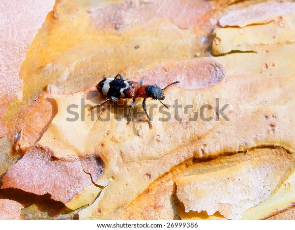 Closeup of colorful beetle (Insecta, Coleoptera) sitting on pine bark