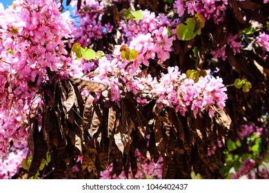 Closeup of a colorful blooming tree in Jerusalem Israel
