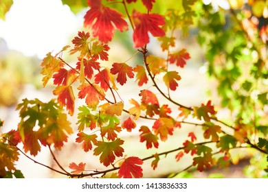 Closeup of colorful bright autumn leaves on a tree or bush
