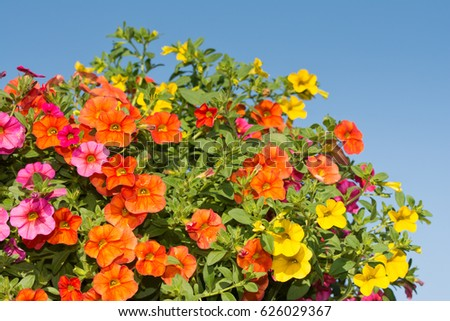 closeup-colorful-calibrachoa-flowers-blu
