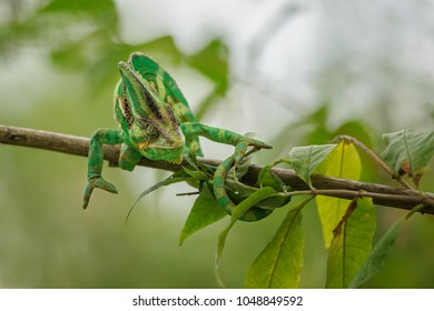 Closeup colorful chameleon in action position