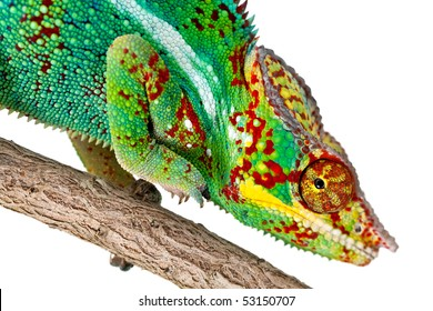 Closeup of a colorful Chameleon on a tree branch isolated against a white background.
