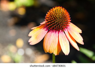 Close-up of a colorful Cone flower with beautiful bokeh garden background