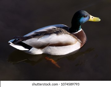 Closeup of a colorful drake swimming in a lake