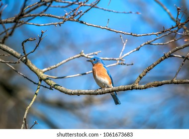 Closeup of a colorful Eastern Bluebird perched on a tree branch in the Spring