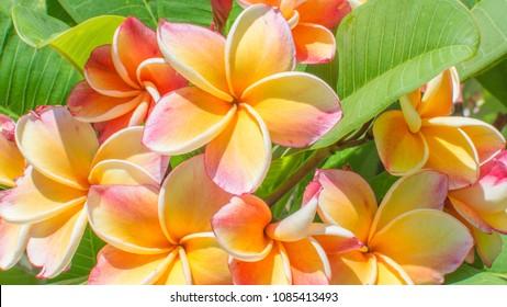 Closeup colorful Frangipani Flowers. Exotic yellow, Beautiful Plumeria or Frangipani (Hawaii, Hawaiian Lei Flower, Bali, Shri-Lanka, champa) on green leaves background, Thailand spa and therapy flower
