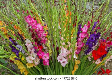 Closeup of colorful Gladiolus flowers in pink purple yellow red white