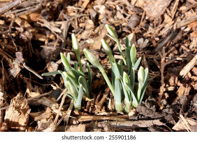 Close-up of colorful green and white snowdrop plant shoots coming out of a wooden bark mulch carpet in spring, not in blossom yet