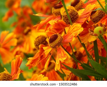 Close-up colorful image of autumn aster flowers in the sun