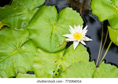 Closeup the colorful lotus flowers on green lotus leaf background