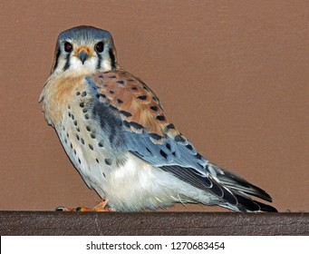 closeup of colorful male american kestrel perched next to a house  in broomfield, colorado