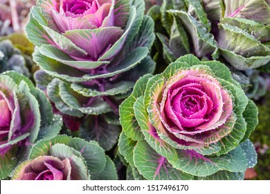 Close-up of colorful ornamental cabbages on the field of a specialized outdoor flower and plant nursery in the Netherlands. It is early in the morning and the ornamental cabbages are full of dew drops