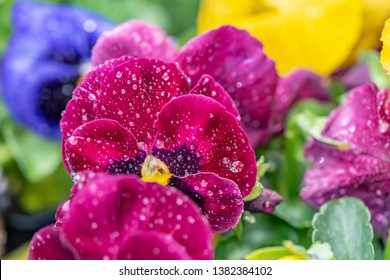 Closeup of colorful pansies (Viola wittrockiana) with water drops after a rain shower.