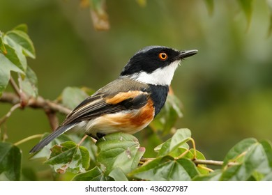 Close-up, colorful passerine bird  Cape Batis, Batis capensis perched on twig in typical highland environment, staring directly at camera, Zimbabwe.