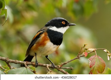 Close-up, colorful passerine bird  Cape Batis, Batis capensis perched on twig in typical highland environment, Zimbabwe.