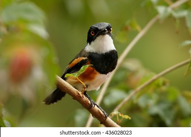 Close-up, colorful passerine bird  Cape Batis, Batis capensis perched on twig in typical highland environment, staring directly at camera, Misty Mountain, South Africa.