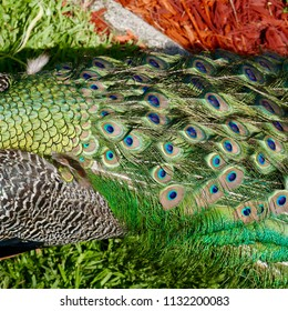 Closeup of colorful peacock back and tail feathers