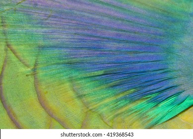 Close-up of the colorful pectoral fin from a Bicolour Parrotfish.