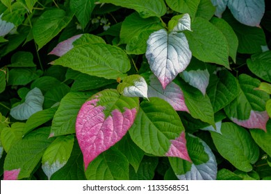 Close-up of colorful  pink and green leaves of creeper Actinidia (Actinidia kolomikta, Actinidiaceae), commonly known as variegated-leaf hardy kiwi, a species of deciduous woody vine.