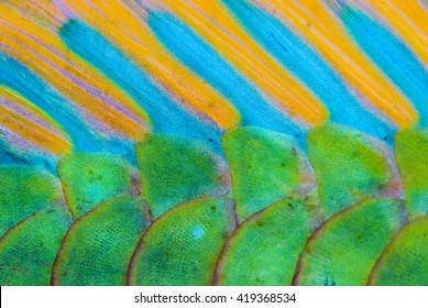 Close-up of the colorful scales from Bicolour Parrotfish.