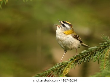 Close-up colorful songbird, Common Firecrest, Regulus ignicapillus, singing male perched on twig with opened bill against blurred green spruce forest in background. Europe, Czech republic