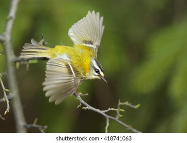 Close-up colorful songbird, Common Firecrest, Regulus ignicapillus, male flying with outstretched wings, landing on twig  against blurred green spruce forest in background. Europe, Czech republic