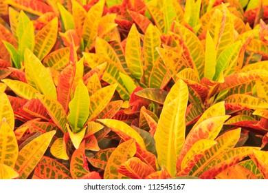Closeup of colorful tropical plant leaves. Codiaeum variegatum (L.) Blume