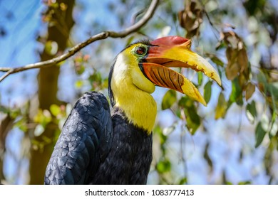 Closeup of colorful Wrinkled Hornbill with open beak, with blurred background of branches and leaves. Space for text.
