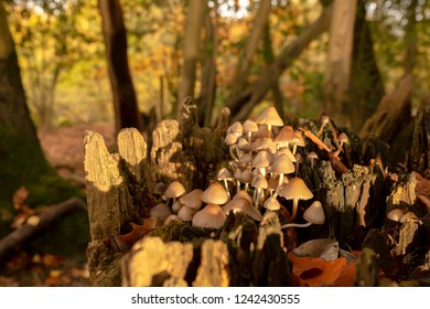 Close-up colour photograph of a clump of Oak-stump mushrooms within old tree stump in landscape orientation.