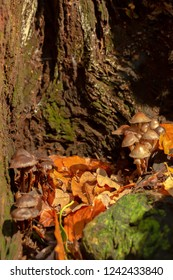 Close-up colour photograph of two clump of Oak-stump mushrooms within old tree stump in portrait orientation.