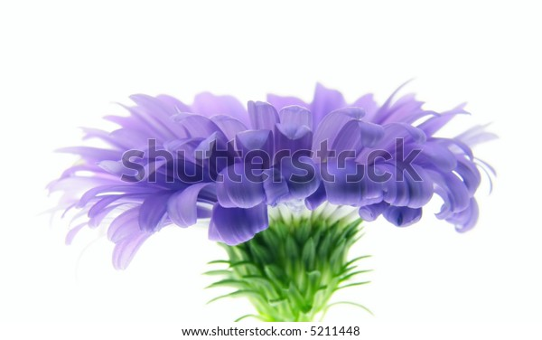 Close-up of colourful purple aster on white background