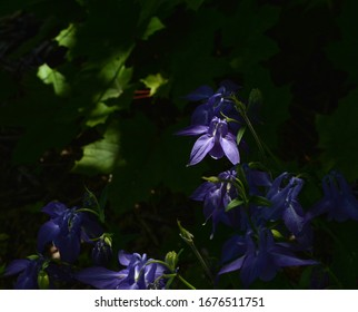 Closeup of a Columbine flower being lit by the sunlight filtered thru the trees.
