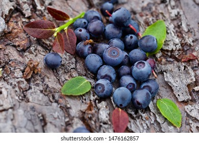 A close-up of common bilberries (vaccinium myrtillus) on a wood bark. Season: Summer 2019. Location: Western Siberian taiga.