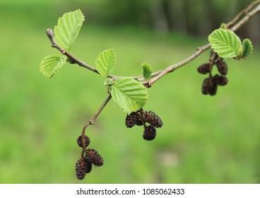 Closeup of a common black alder Alnus glutinosa branches in spring