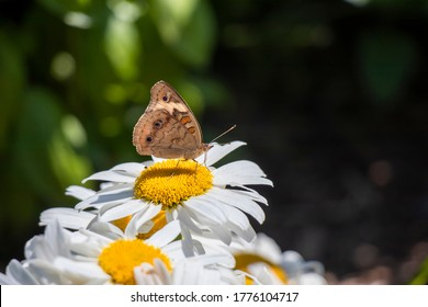 Close-up of a Common Buckeye butterfly feeding on a Shasta daisy flower against a green background with dappled sunlight and copy space.