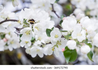 Close-up of common bumble bee is pollinating spring apple tree flowers