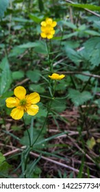 Closeup of a Common Buttercup yellow flowers in forest on green grass background. Ranunculus acris meadow buttercup, tall buttercup, giant buttercup