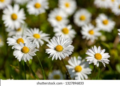 Close-up of common daisy (Bellis perennis) blooming in a meadow in spring, Izmir / Turkey