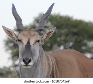 Close-up of a common eland, also known as the southern eland or eland antelope, is a savannah and plains antelope found in East and Southern Africa. It is a species of the