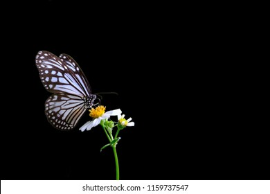 Close-up Common Glassy Tiger butterfly sucking nectar from grass flowers on isolated black background